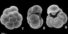 To Mikrotax (Neogloboquadrina dutertrei (d'Orbigny, 1839))