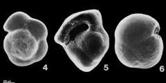 To Mikrotax (Pulleniatina praespectabilis Brönnimann & Resig 1971)