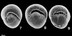 To Mikrotax (Pulleniatina obliquiloculata (Parker & Jones, 1865))