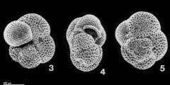 To Mikrotax (Globorotaloides suteri Bolli, 1957)