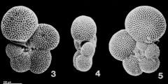To Mikrotax (Globorotaloides hexagonus (Natland, 1938))