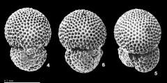 To Mikrotax (Trilobatus trilobus(Reuss 1850))