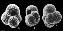 To Mikrotax (Globoturborotalita rubescens (Hofker, 1956))