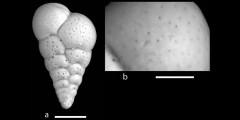 To Mikrotax (Streptochilus latus Bronniman & Resig 1971)