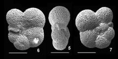 To Mikrotax (Protentelloides primitivus Zhang and Scott, 1995)