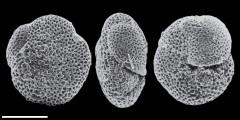To Mikrotax (Paragloborotalia birnageae (Blow, 1959))