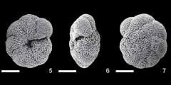 To Mikrotax (Paragloborotalia kugleri (Bolli, 1957))