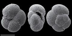 To Mikrotax (Paragloborotalia nana (Bolli 1957))