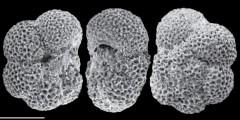 To Mikrotax (Paragloborotalia pseudokugleri (Blow, 1969))