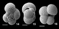 To Mikrotax (Globigerinella obesa (Bolli, 1957))