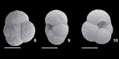 To Mikrotax (Globoturborotalita eolabiacrassata Spezzaferri and Coxall, in Spezzaferri et al. 2018)