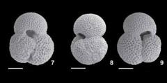 To Mikrotax (Trilobatus subsacculifer (Cita, Premoli Silva, and Rossi, 1965))