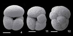 To Mikrotax (Dentoglobigerina larmeui (Akers, 1955))