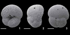 To Mikrotax (Dentoglobigerina sellii (Borsetti, 1959))