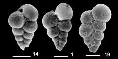 To Mikrotax (Chiloguembelina andreae Premec Fucek, Hernitz Kucenjak and Huber, in Premec Fucek et al. 2018)