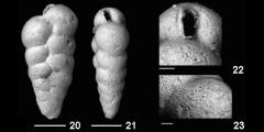 To Mikrotax (Streptochilus pristinum Brönnimann and Resig, 1971)