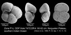To Mikrotax (Globanomalina australiformis (Jenkins 1966))