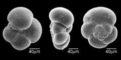 To Mikrotax (Globanomalina imitata (Subbotina 1953))