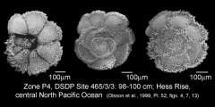 To Mikrotax (Morozovella pasionensis (Bermudez 1961))
