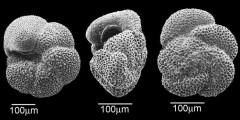 To Mikrotax (Morozovella praeangulata (Blow 1979))