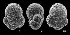 To Mikrotax (GlobuligerinaBignot and Guyader 1971)