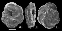 To Mikrotax (Globotruncanidae Brotzen 1942)