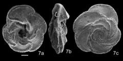 To Mikrotax (Marginotruncana sinuosa Porthault, in Donze et el., 1970)
