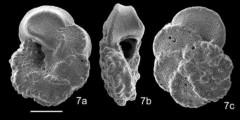 To Mikrotax (Marginotruncana caronae Peryt 1980)