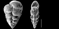 To Mikrotax (Hendersonites Georgescu & Abramovich 2009)