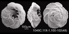 To Mikrotax (GlobotruncanitaReiss, 1957)