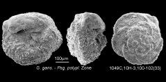 To Mikrotax (GansserinaRobaszynski,Caron, Gonzalez Donoso, and Wonders 1984)