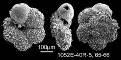 To Mikrotax (Praeglobotruncana stephani (Gandolfi, 1942))