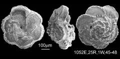 To Mikrotax (Globotruncana arca (Cushman, 1926))