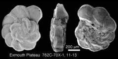 To Mikrotax (Marginotruncana coronata (Bolli, 1945))