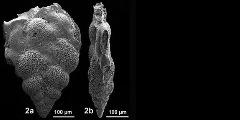 To Mikrotax (PraegublerinaGeorgescu, Saupe and Huber 2009)