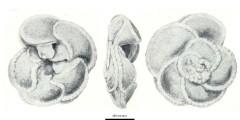 To Mikrotax (Marginotruncana renzi (Gandolfi, 1942))