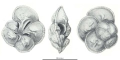 To Mikrotax (Rotalipora cushmani (Morrow, 1934))