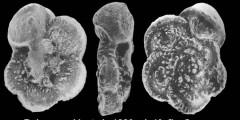 To Mikrotax (Abathomphalus mayaroensis (Bolli, 1951))