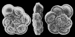 To Mikrotax (Marginotruncana marginata (Reuss, 1845))