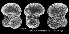To Mikrotax (Rugoglobigerina macrocephalaBrönnimann, 1952)