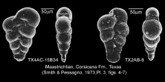 To Mikrotax (Spiroplecta Ehrenberg 1844)