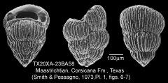 To Mikrotax (Pseudotextularia elegans (Rzehak, 1891))